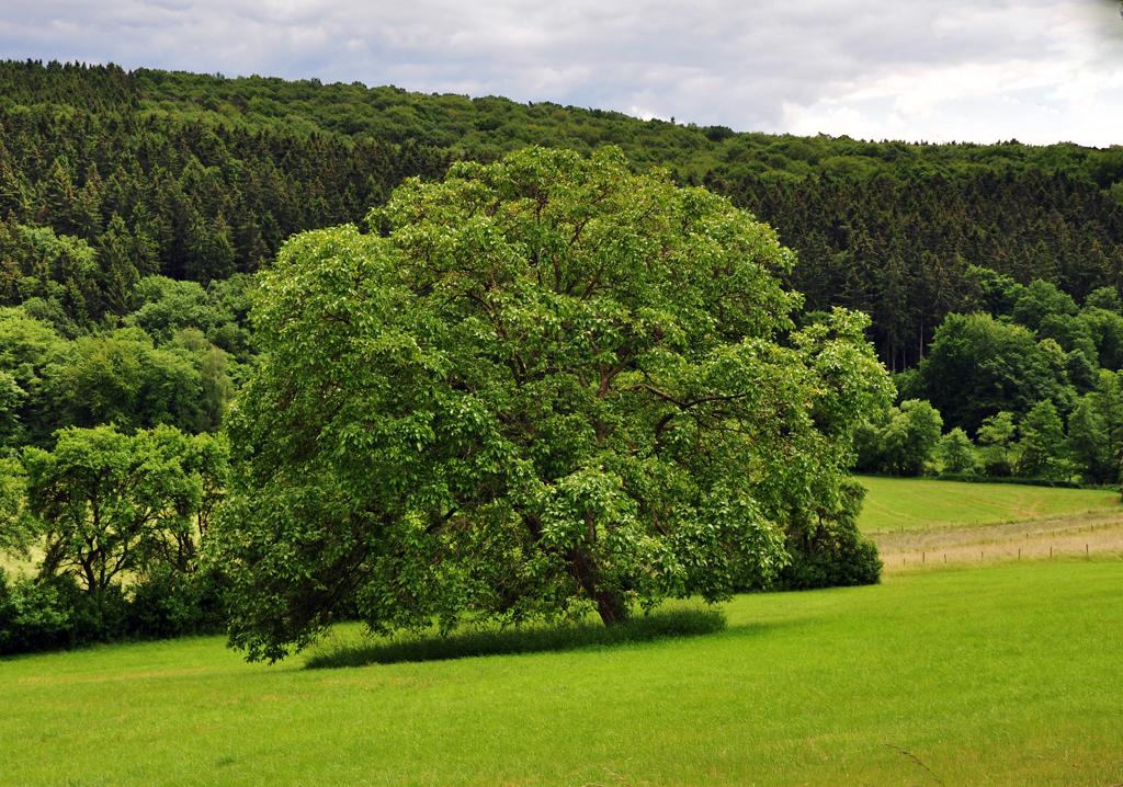 grosser-kugelbaum-an-steinbachtalsperre